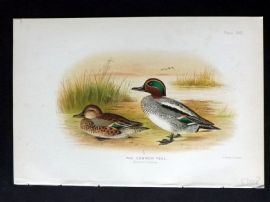Baker & Gronvold Indian Ducks 1908 Antique Bird Print. Common Teal